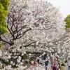 モバトク(MOBATOKU)、お花見な友達紹介キャンペーン開催中
